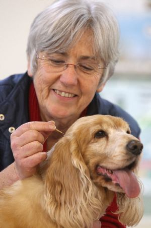 Acupuncture for animals - vet Ulrike Wurth administers treatment to Lucy the spaniel